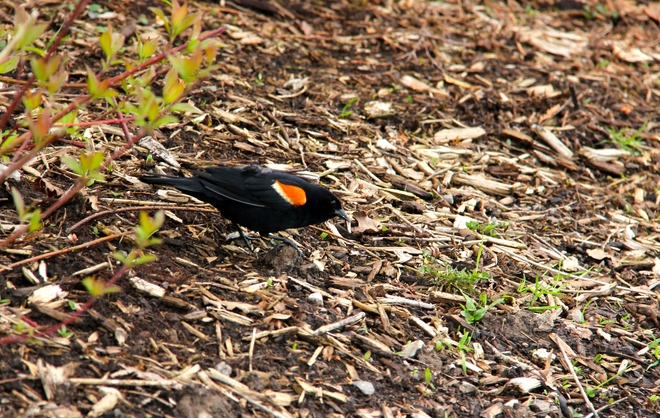 Red Wing Blackbird Burlington, ON