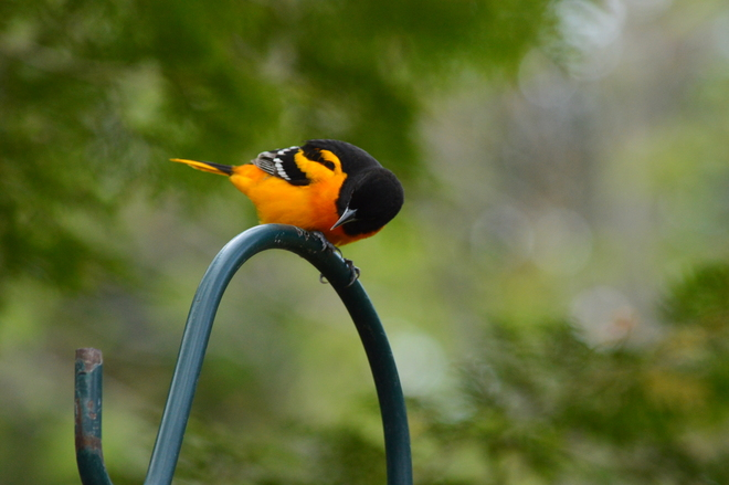 The Oriole
