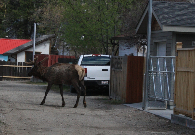 Back Alley Elk Jasper, AB