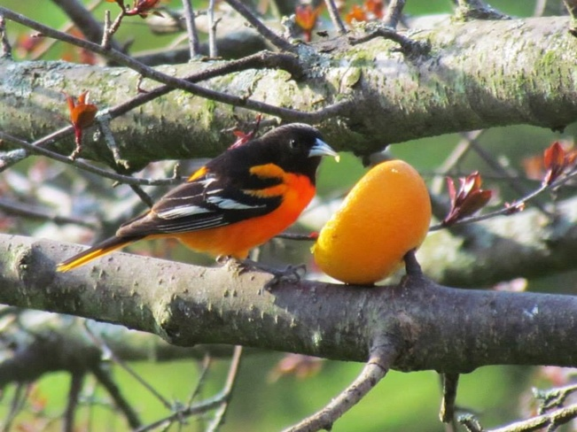 Orioles Carrying Place, Ontario Canada