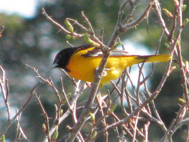 the Baltimore Oriole 291 Maces Bay Road, Maces Bay, NB