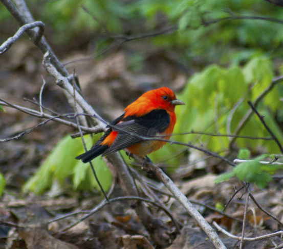 Red Tanager