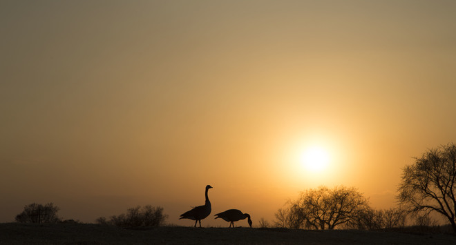 Geese at sunset Brandon, MB
