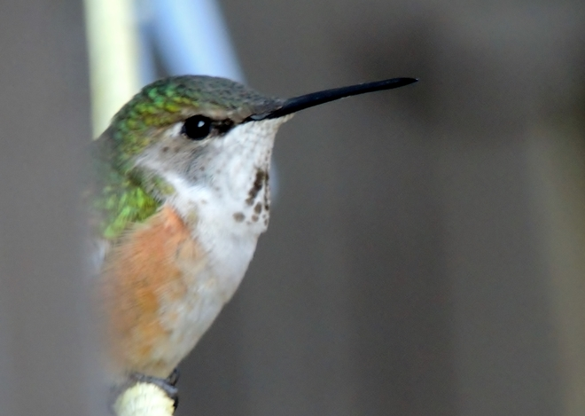 Hummingbirds at Mara Lake. Mara Lake, Sicamous, BC
