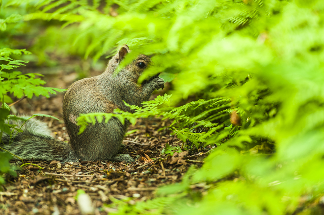 Brown Squirrel in Forest Langley, BC