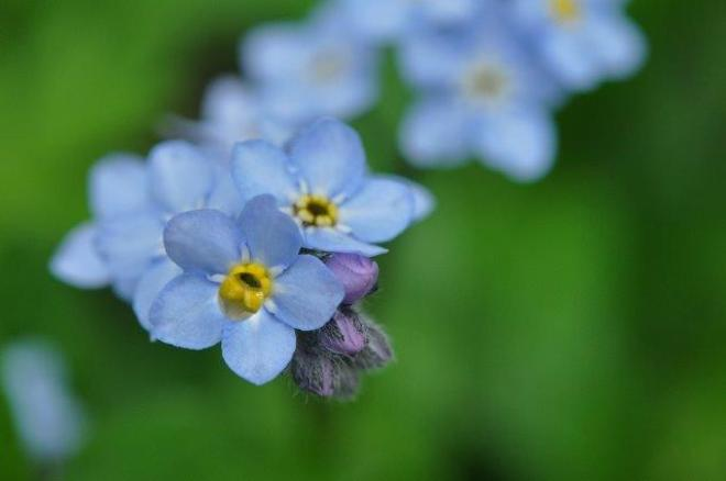 Forget-me-not Erin, ON