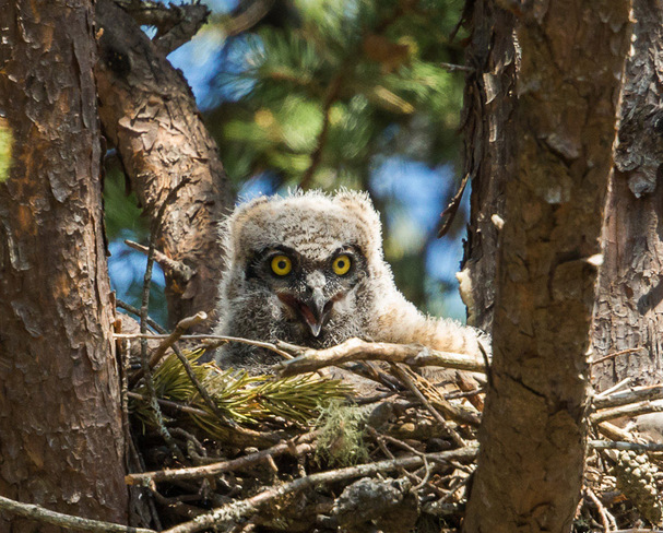 Baby Great Horned Owl Wallace, Nova Scotia
