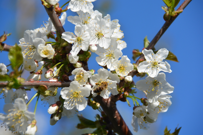 Bees and Cherry Blossoms Gaspereau, NS