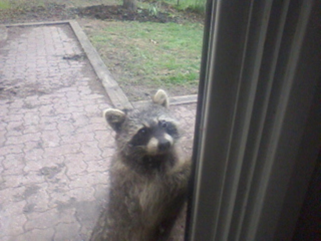 Raccoon: Blueberries? Apples? Almonds? Peanuts? Any help would be appreciated!
