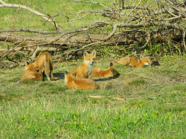 Fox kits Barrie, ON