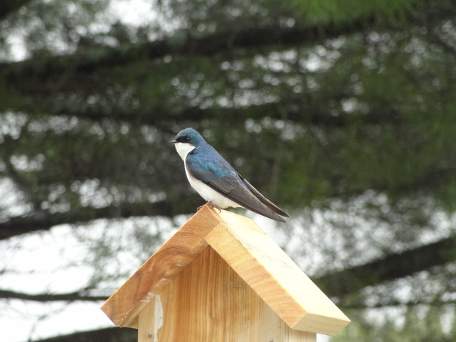 Tree swallows Bathurst, NB