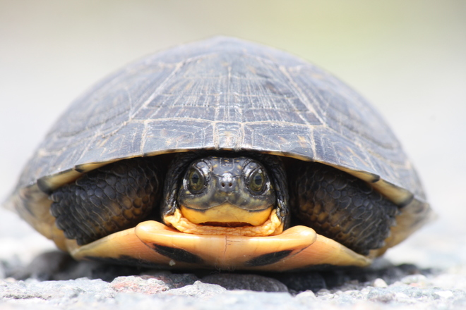 The Endangered Blanding Turtle Garson, Greater Sudbury, ON