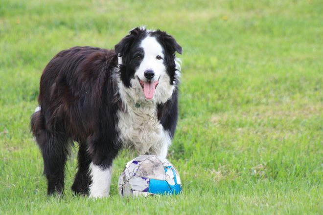 Heart, the border collie wants to play ball. Heroux Road, New Liskeard, ON P0J 1P0, Canada