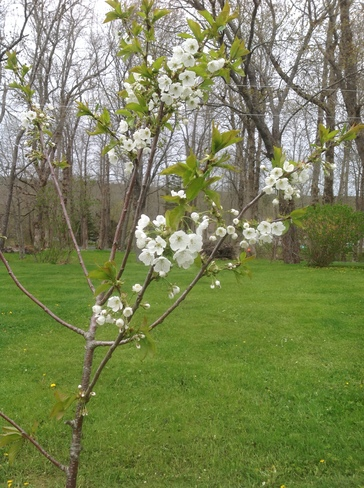 Cherry Blossoms Mount Uniacke NS