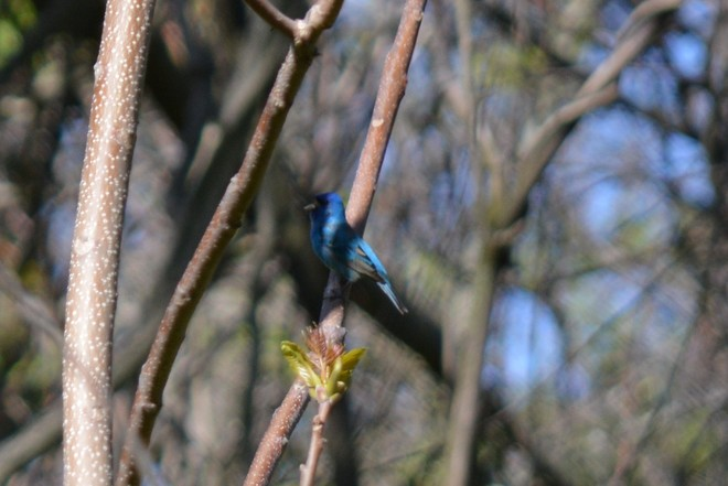 Indigo Bunting Bird! St. Catharines, ON, Canada