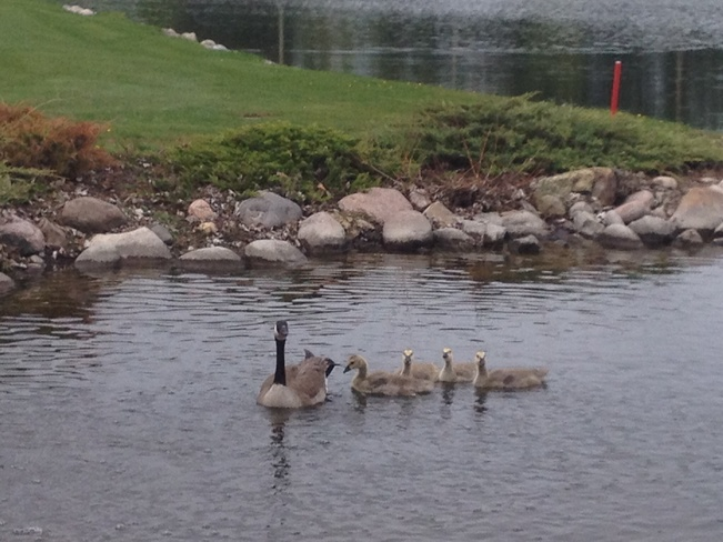 Goslings getting bigger........ Medicine Hat, Alberta Canada
