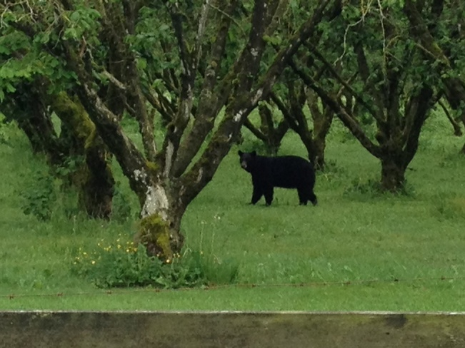 Black Bear raiding the Hazelnut Farm Agassiz, British Columbia Canada