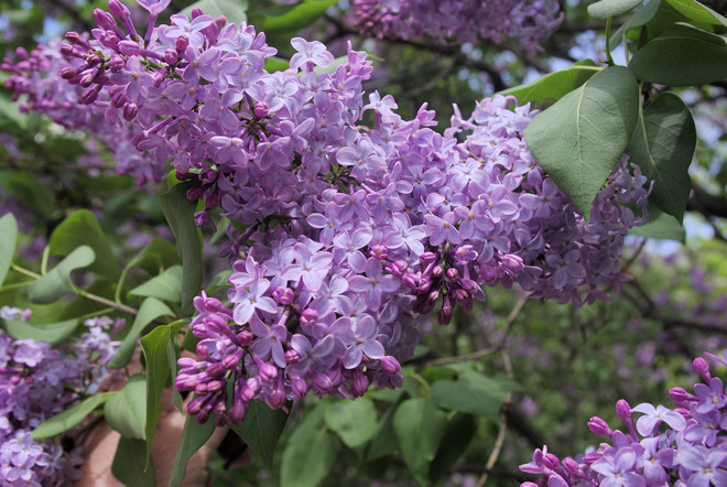 Lilac time! Montreal, QC