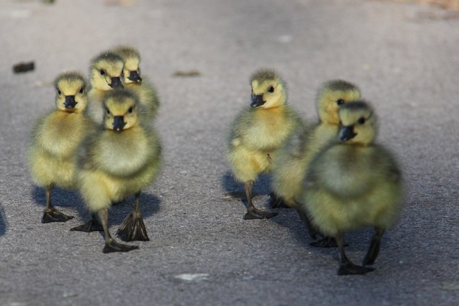These goslings looked like they were on a mission. 122 Patience Crescent, London, ON N6E, Canada