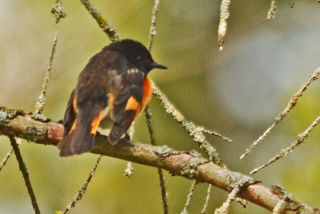 American Redstart Whitby, ON