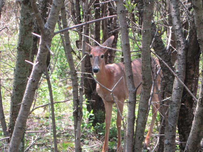 A deer in Ajax ajax, ontario