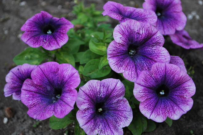 Pretty..Purple...Petunias... Oshawa, ON