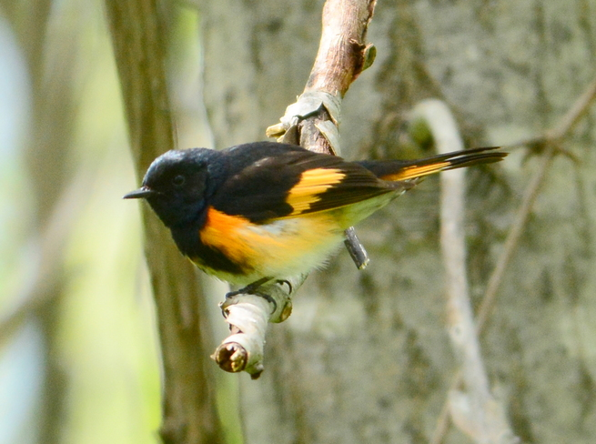 A male American redstart Laval, QC