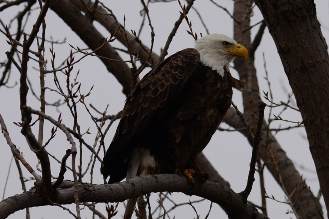 Balled Eagle Sited in Windsor Essex Area Essex, ON