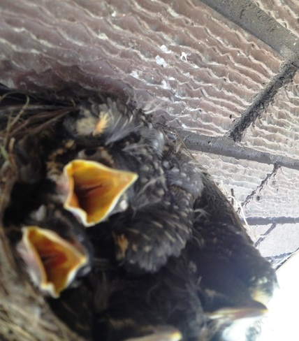 Baby Robins in Dryden Ontario Dryden, ON