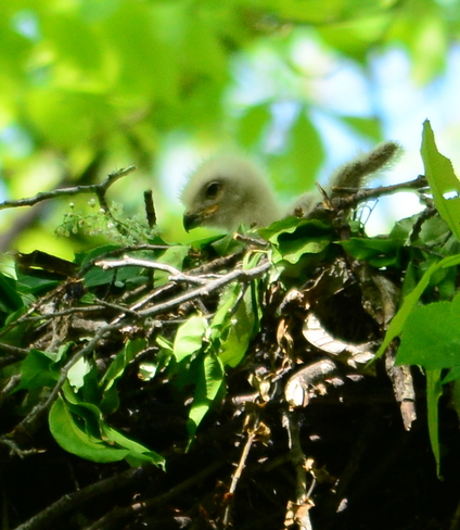 There are signs of life in the nest. Laval, QC