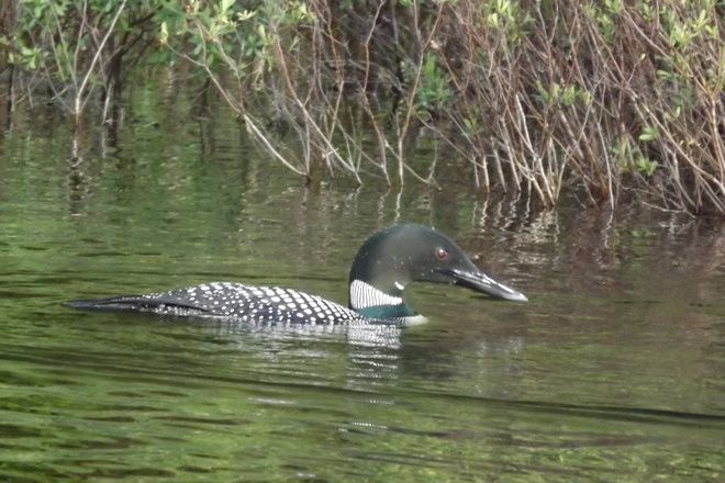 Beautiful Loon Pembroke, Ontario Canada