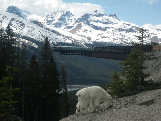 Skywalk and Mountain Goat Jasper, Alberta