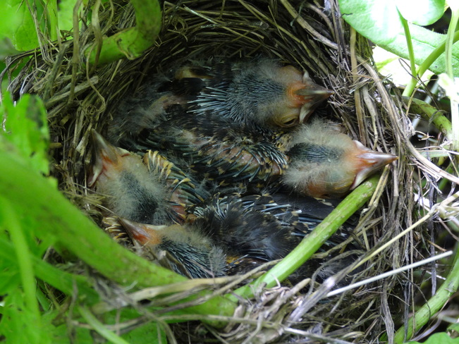 Growing up Blackbird - Hatched day six. Cambridge, ON