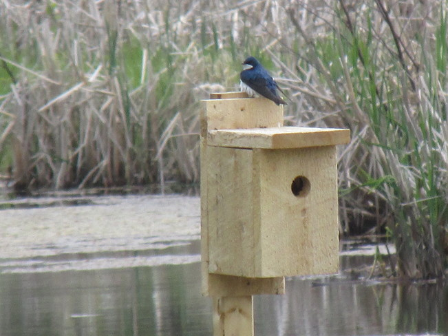 Tree Swallows Occupy the Nesting boxes on the Waterfowl Park Sackville New Brunswick