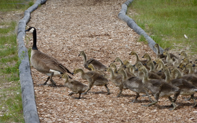 MAKE WAY FOR THE GOSLINGS