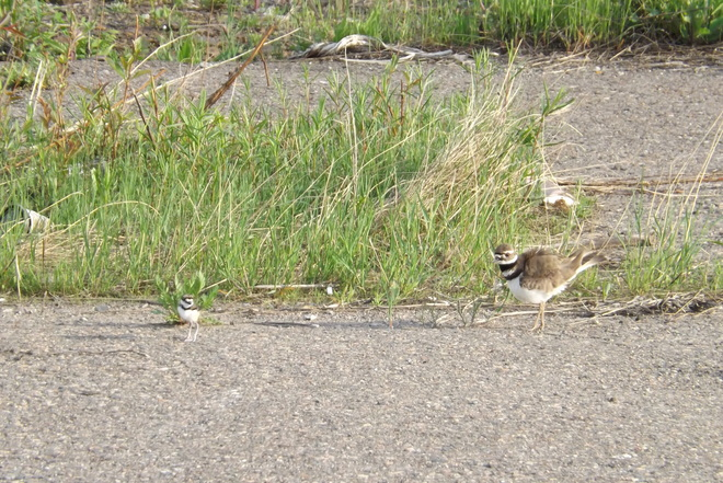 KILLDEER WITH ONE OF 4 CHICKS Thunder Bay, ON