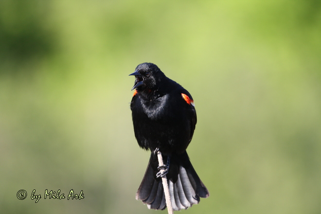 Red-winged blackbird (M) Darlington Park Rd, Courtice, ON, Canada