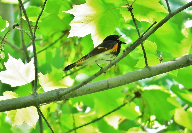American Redstart sings up a storm. North Bay, ON
