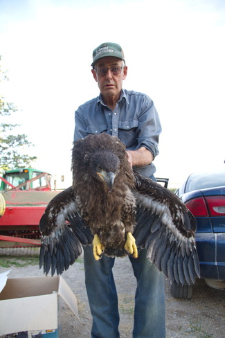 Bald Eagle Rescue Goderich, ON