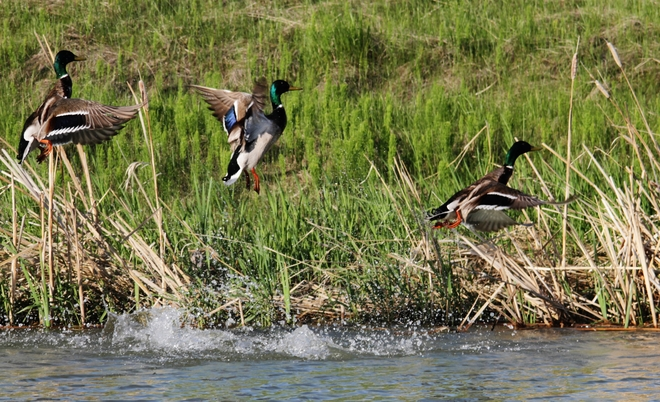 greenheads Brooks, AB
