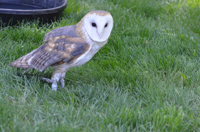 beautiful barn owl Coaldale, AB