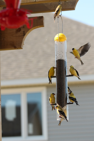 Busy Day at the Finch Feeder Kingston, ON