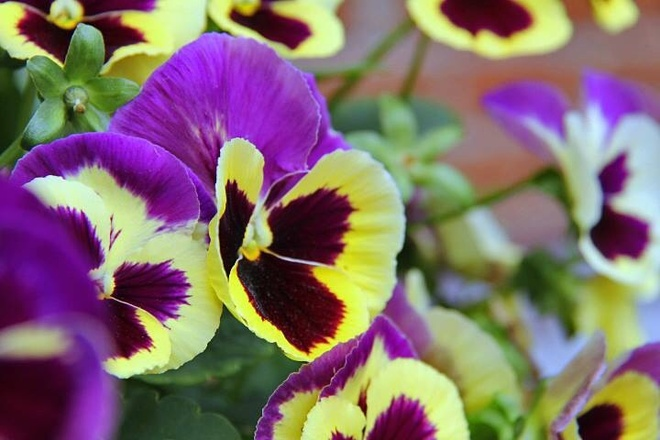 Pretty Pansies:) Woodstock, Ontario Canada