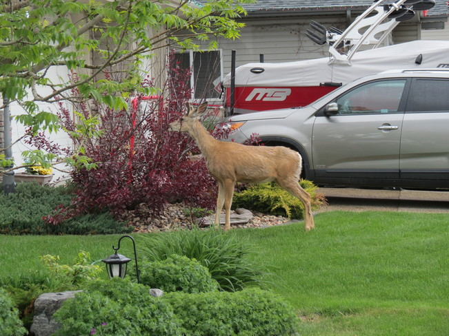 A deer having a neighbourly snack Fort Saskatchewan, AB