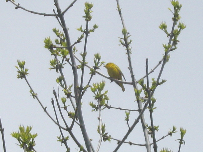 yellow warbler Thunder Bay, ON