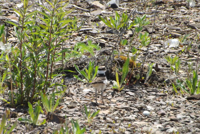 killdeer chick Thunder Bay, ON