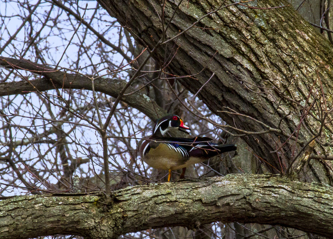 Wood Ducks are back Cornwall, ON