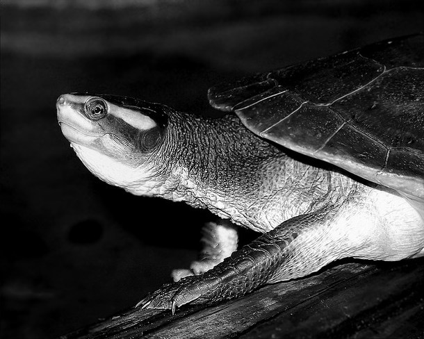 Turtle in black and white Scarborough, Toronto, ON