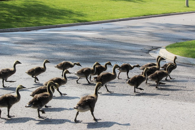 School age Goslings !! Richmond Hill, ON