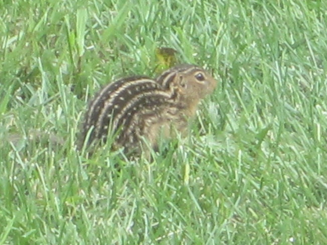 Ground Squirrel???